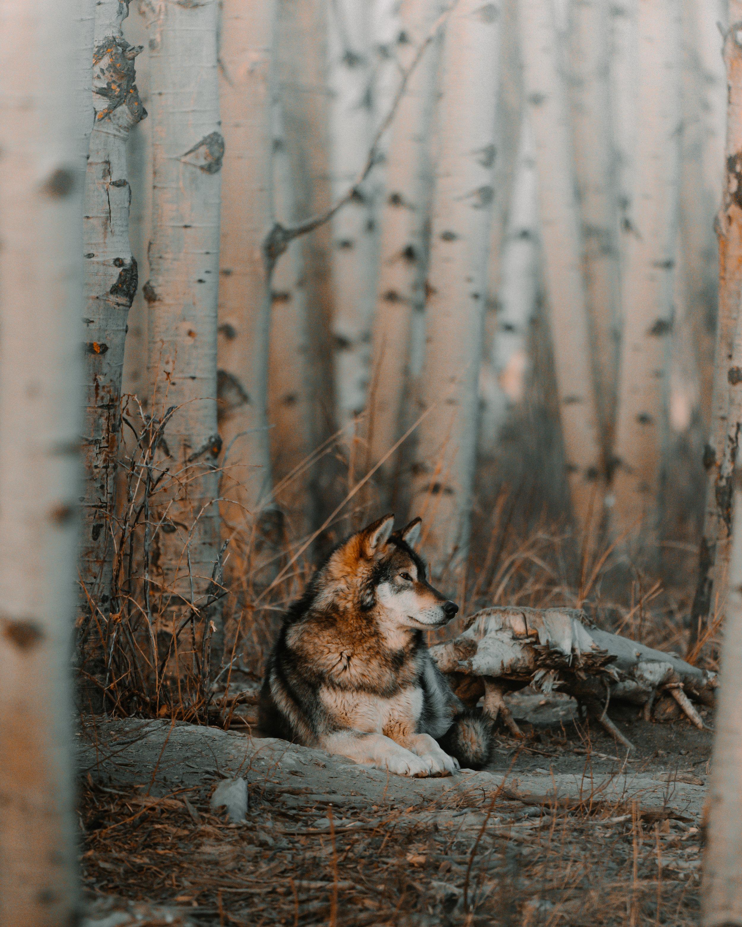 TRAVELALBERTA-Wolfdog2.jpg
