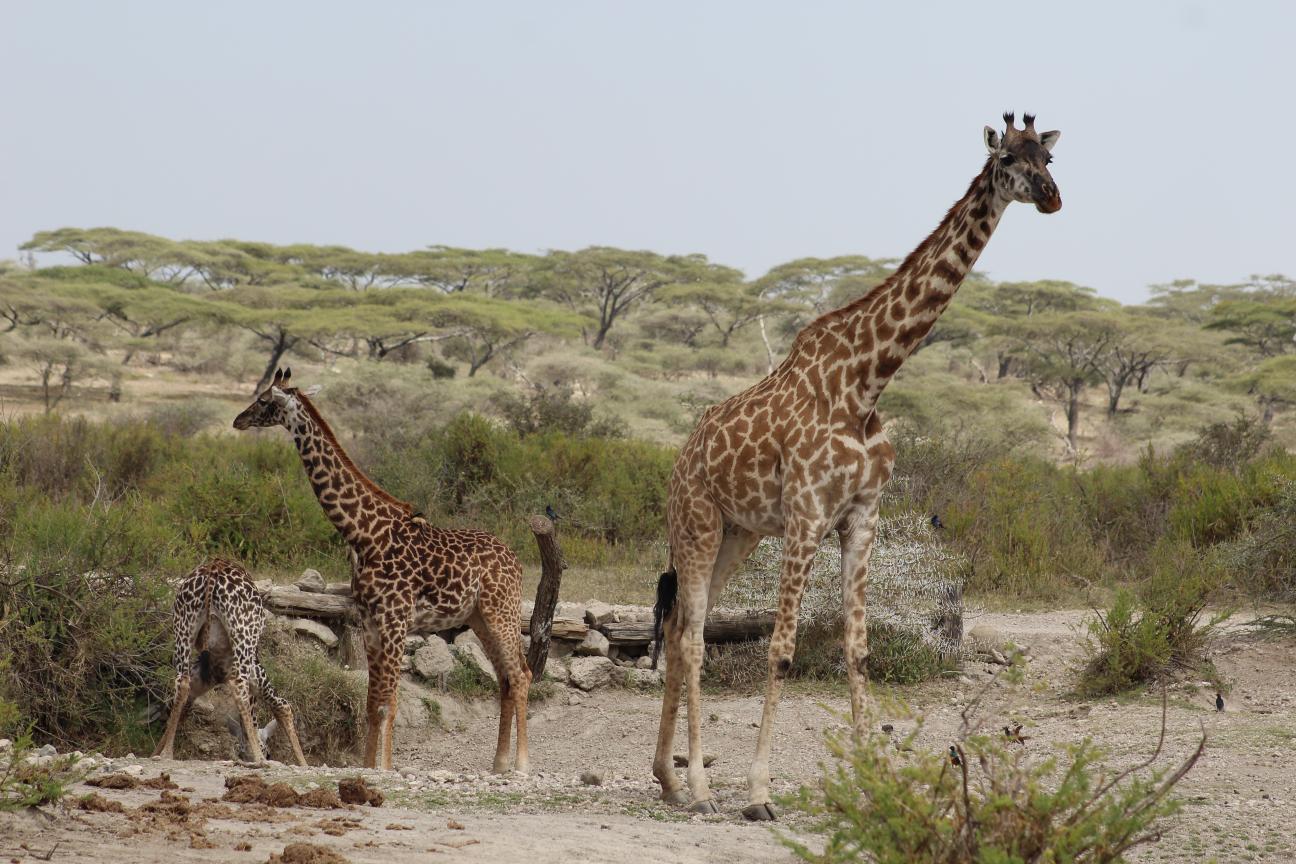 Giraffes-01-Africa-Safari.png