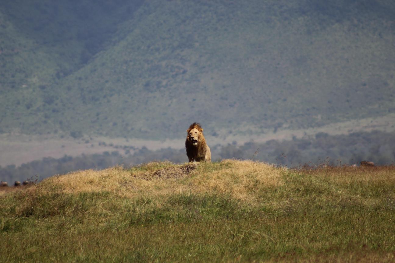 Lion-01-Africa-Safari.png