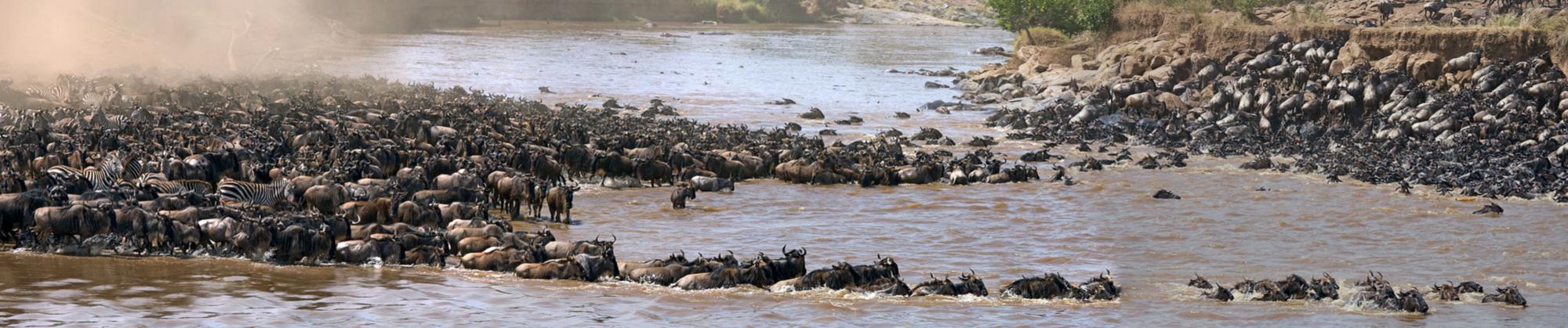 The Great Wildebeest Migration through the Serengetti
