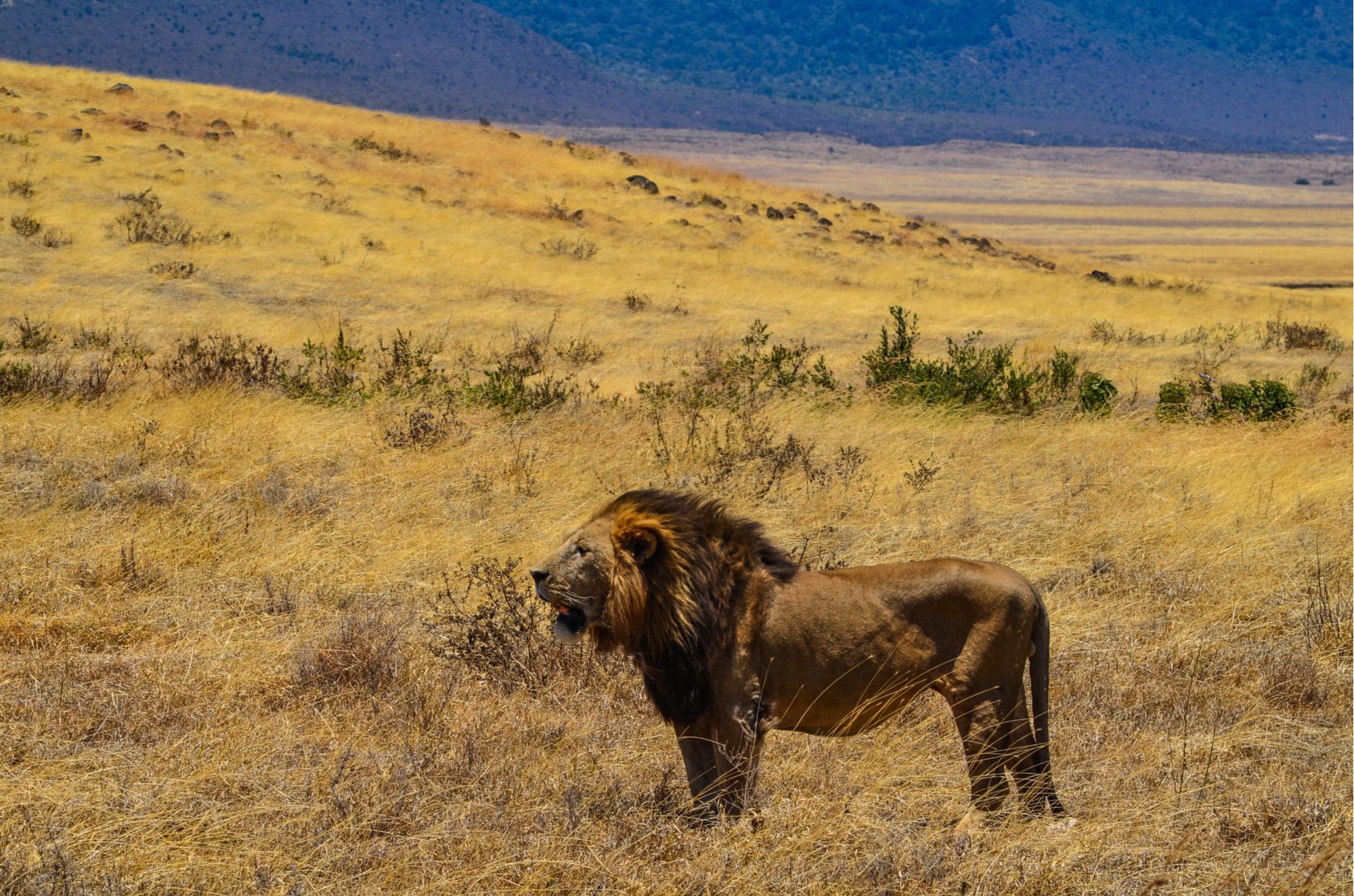 A lion encounter on the Walking Safari