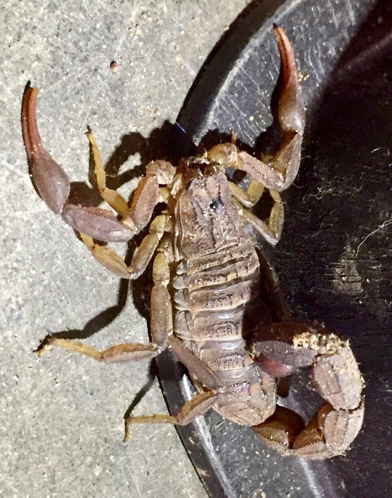 Mr. Scorpion visits the dentist.