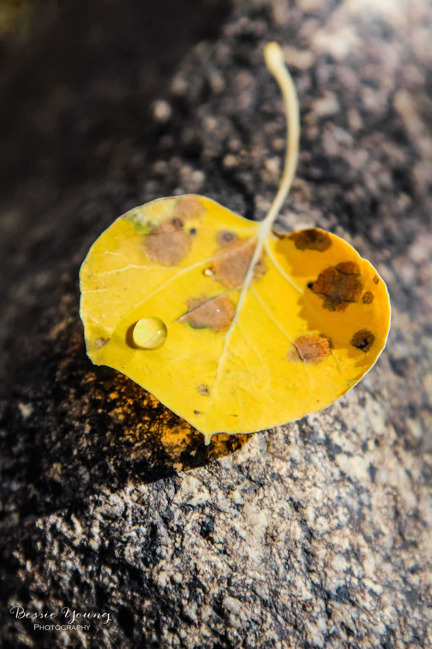 Aspen Leaf by Bessie Young Photography