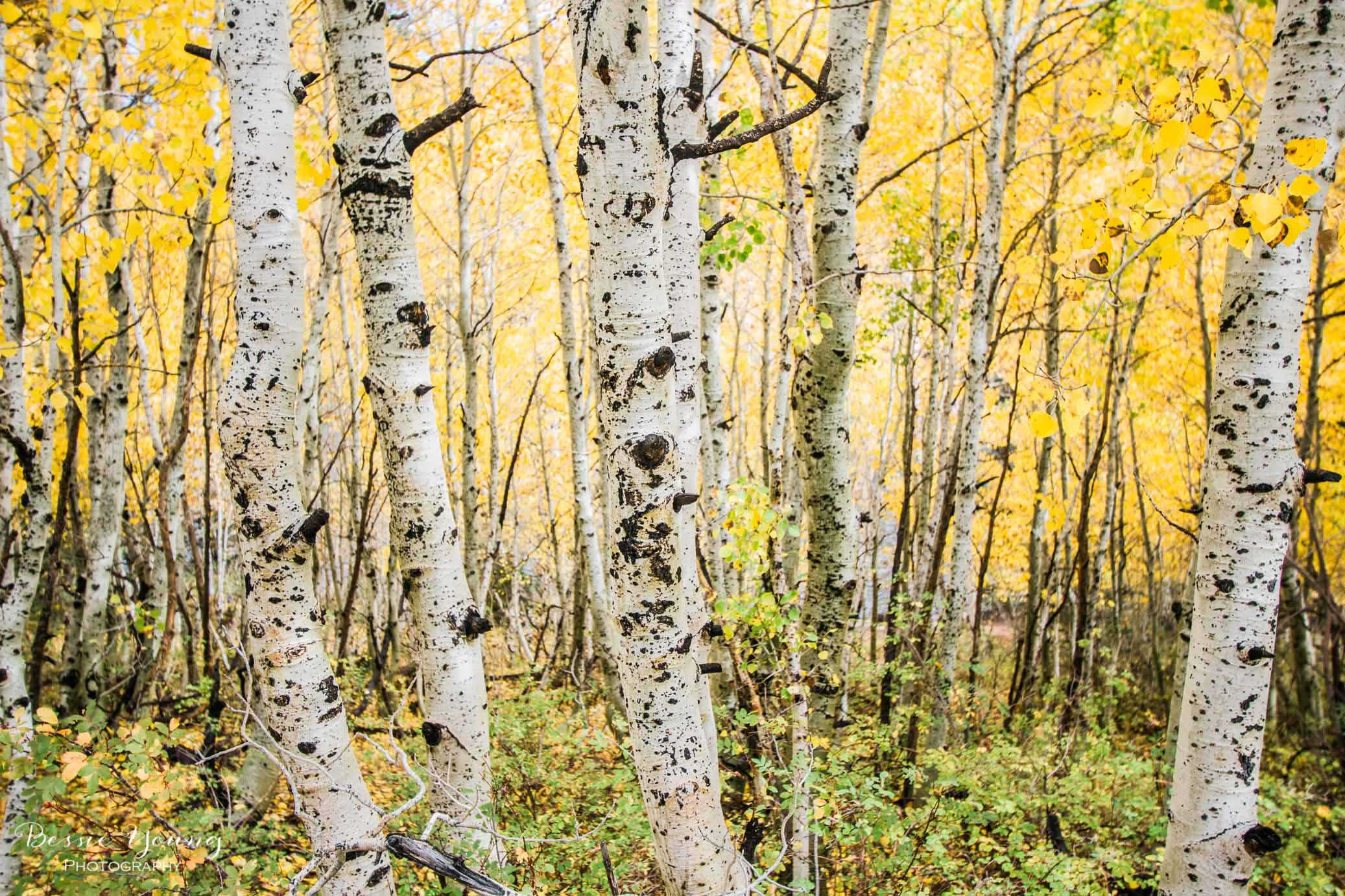 Aspen Photograph by Bessie young