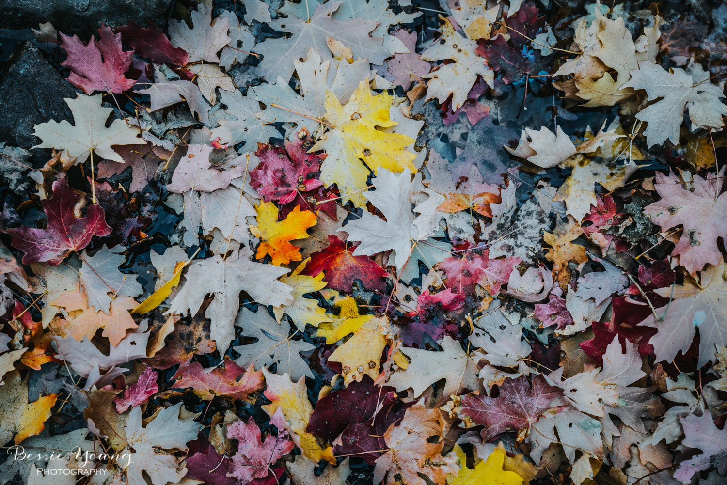 Fall Maple Leaves Fine Art Print by Bessie Young Photography