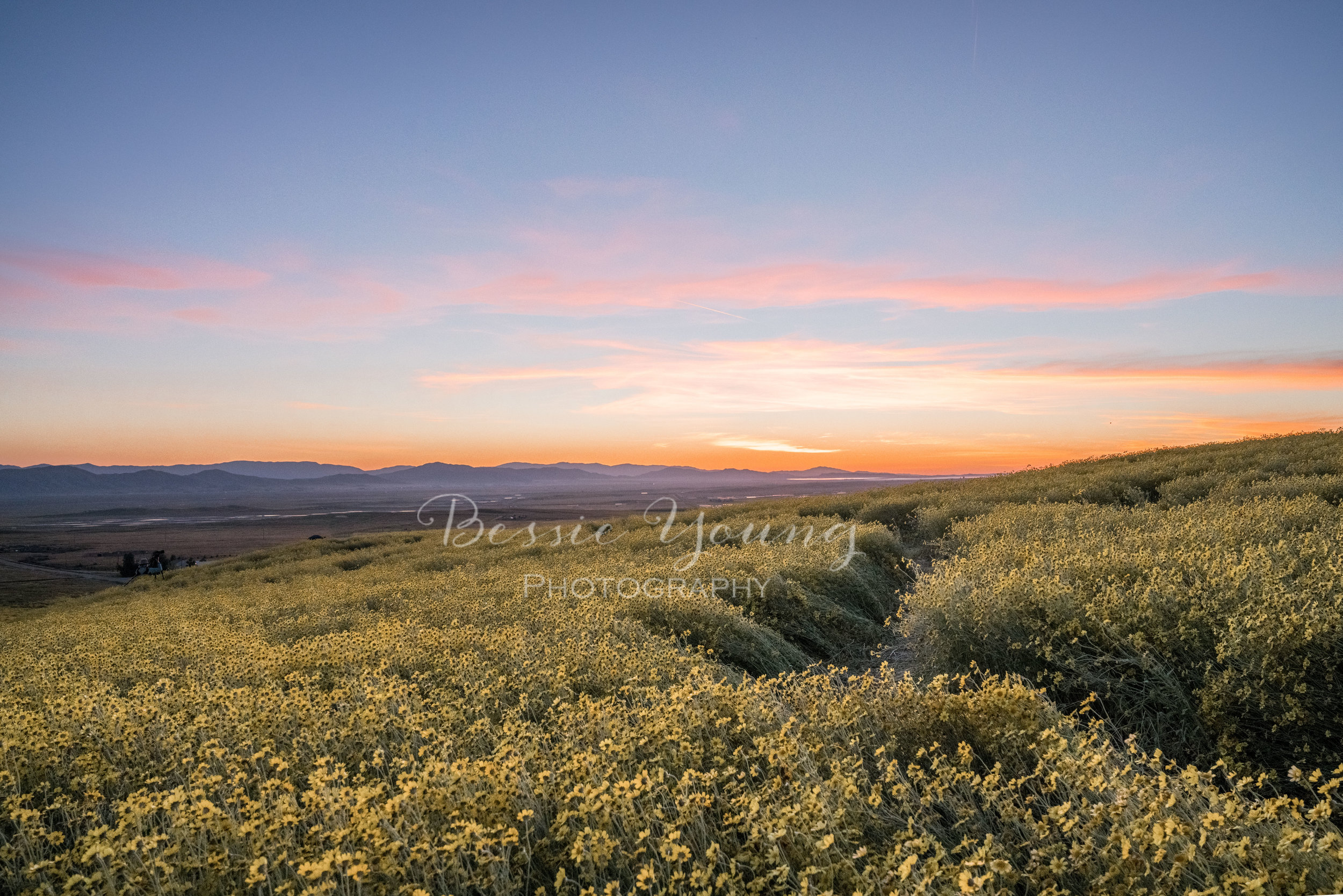 Corrizo Plain Super Bloom by Bessie Young Photography.jpg