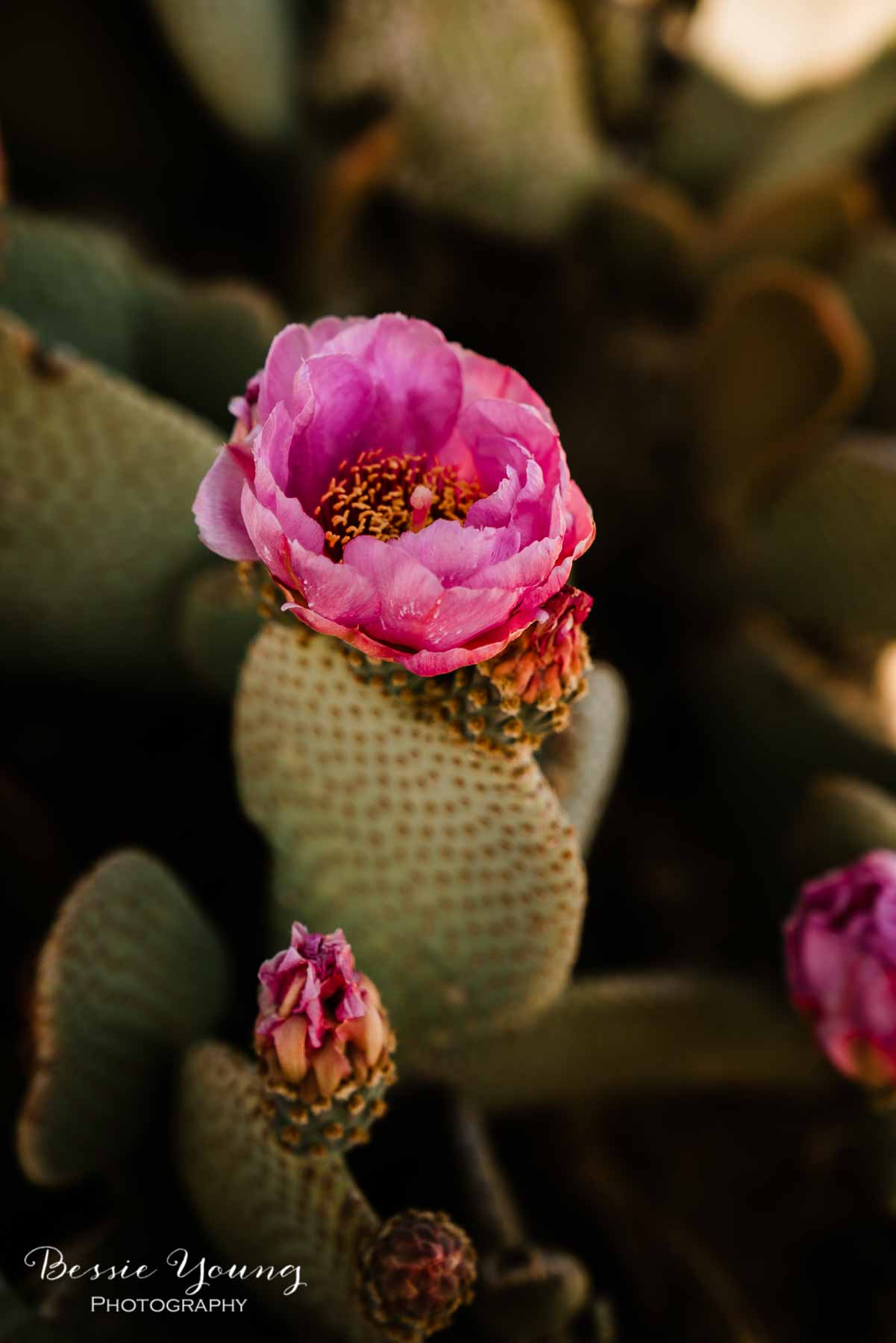 How To Take Flower Photos Joshua Tree National Park Wildflowers by Bessie Young Photography