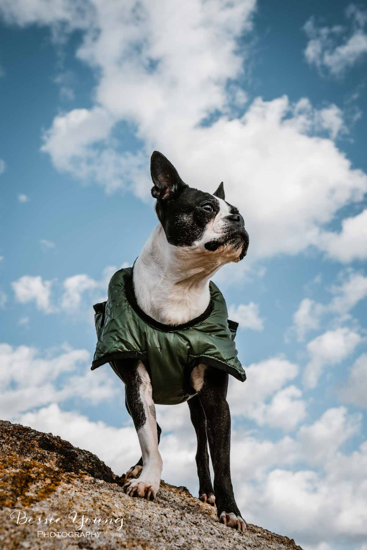 Yota the Boston Terrier - Dogs that Hike - Adventure dogs by Bessie Young