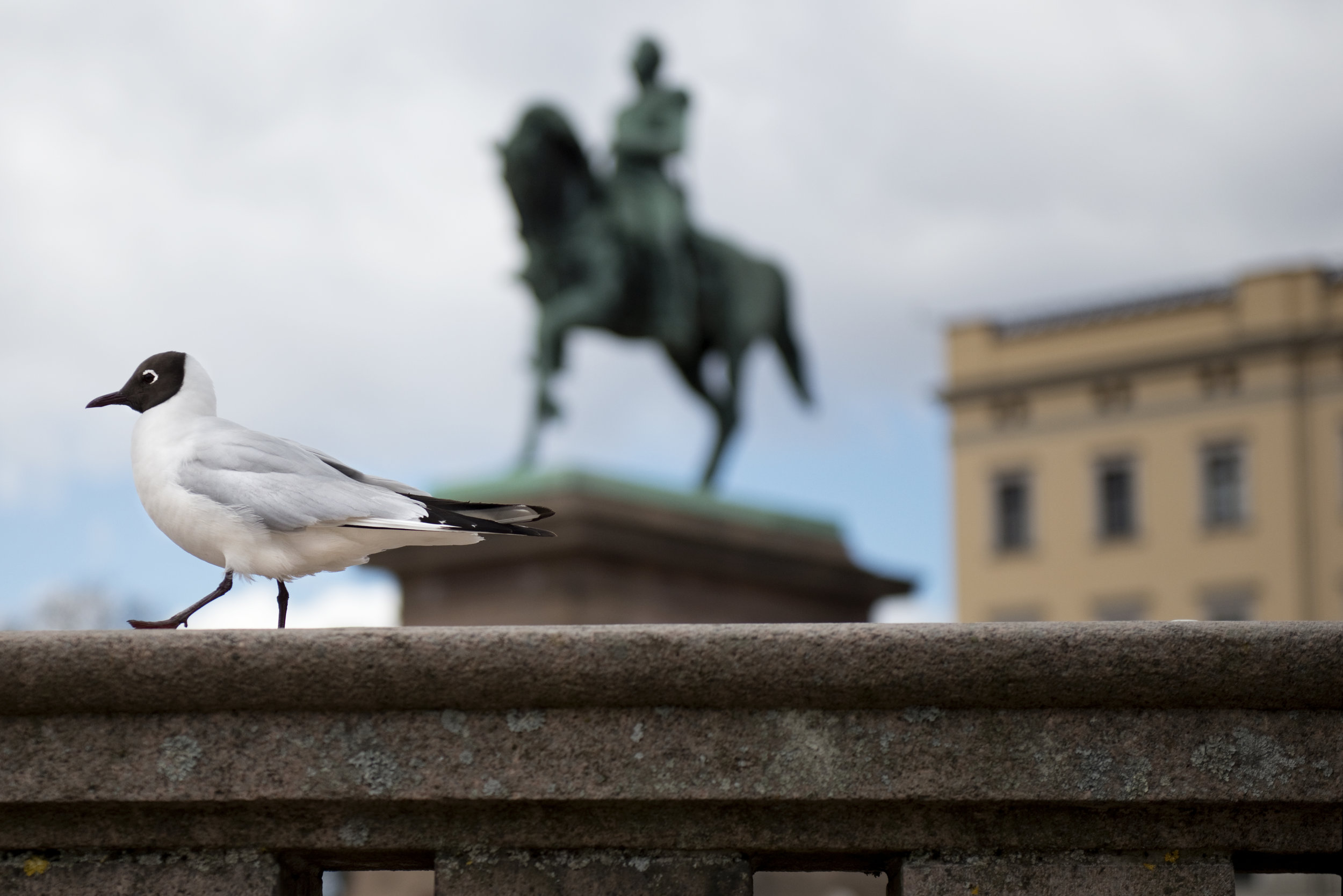 A black headed gull in front of the Royal Palace