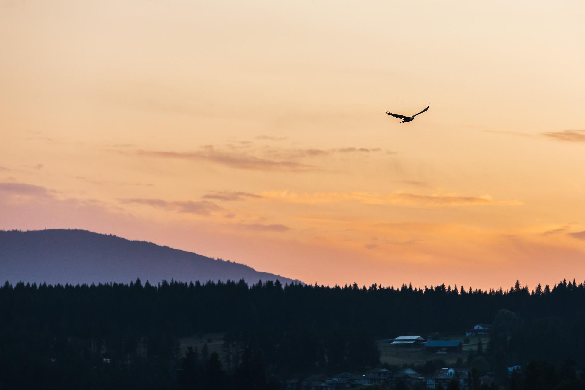 Bald Eagle in the pre-sunrise light.