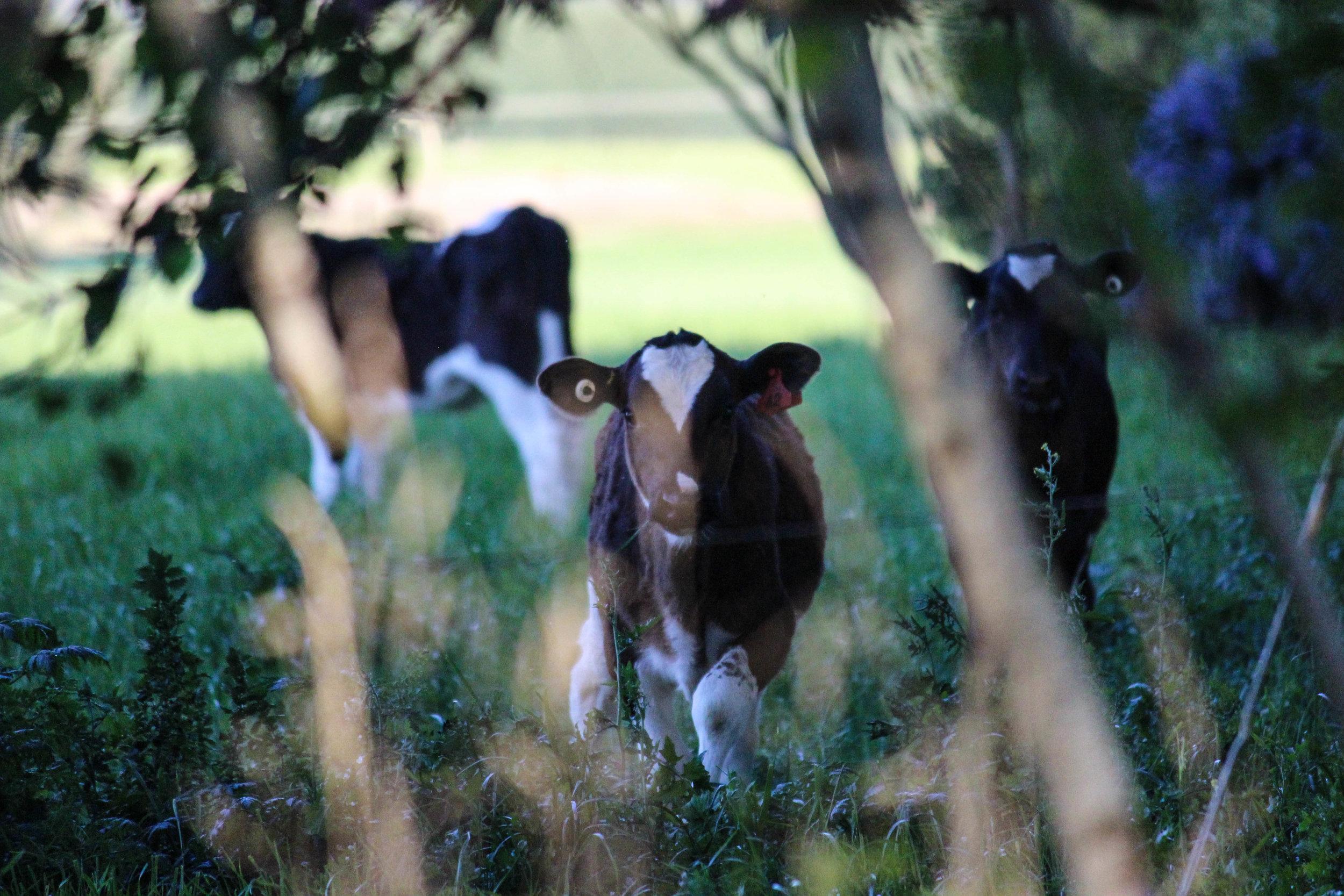 calves-7.jpg