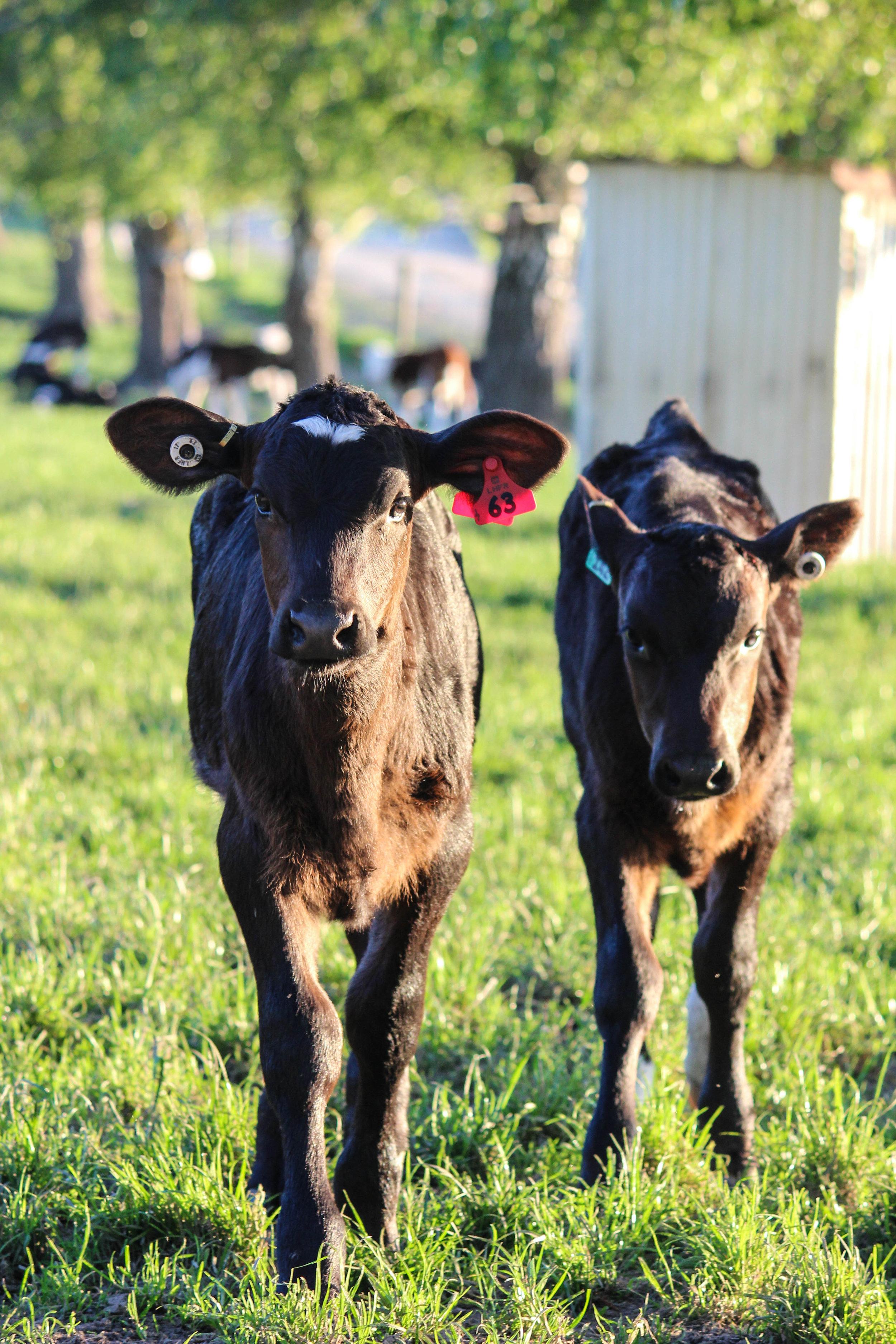 calves-25.jpg
