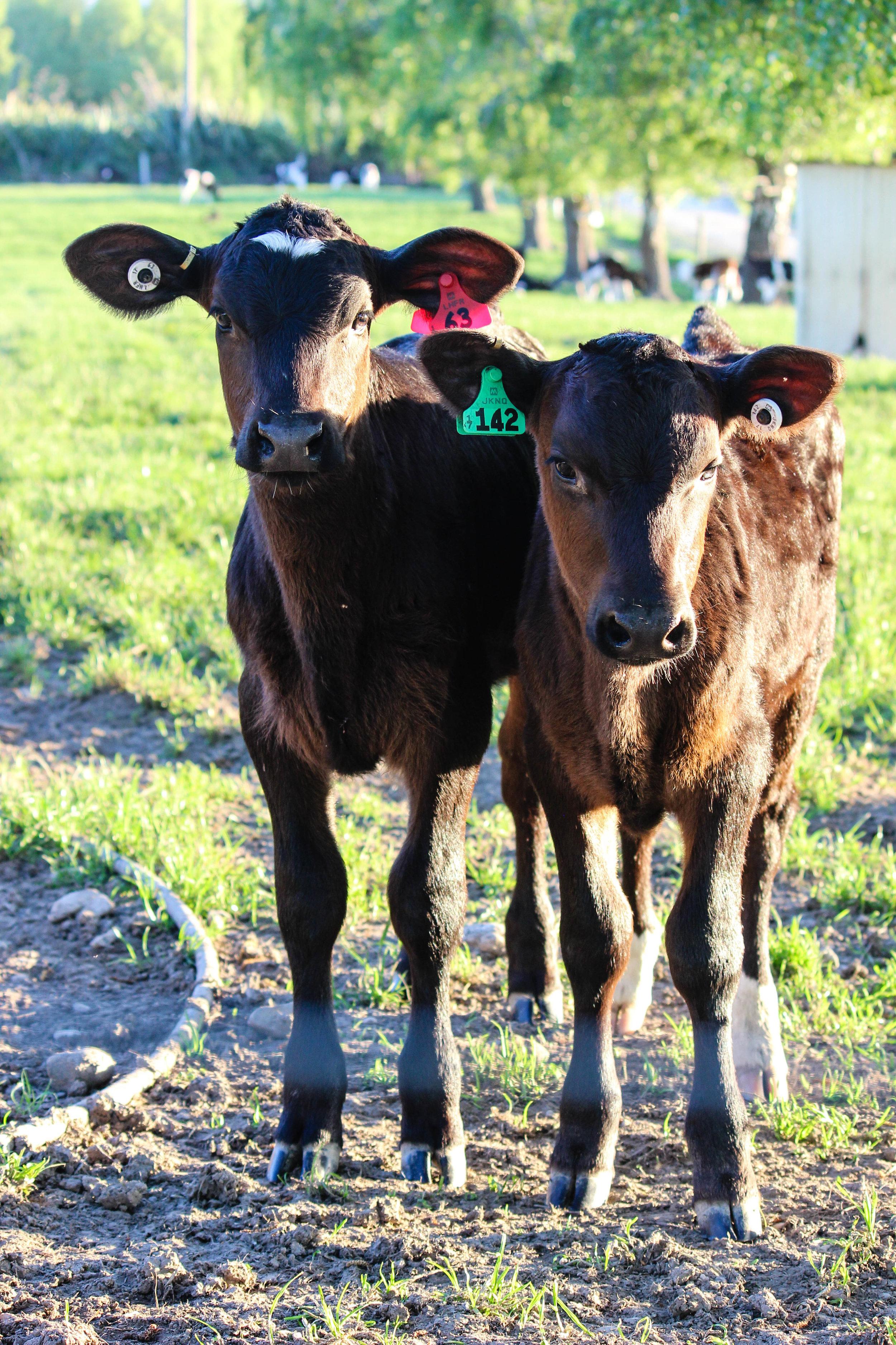 calves-26.jpg