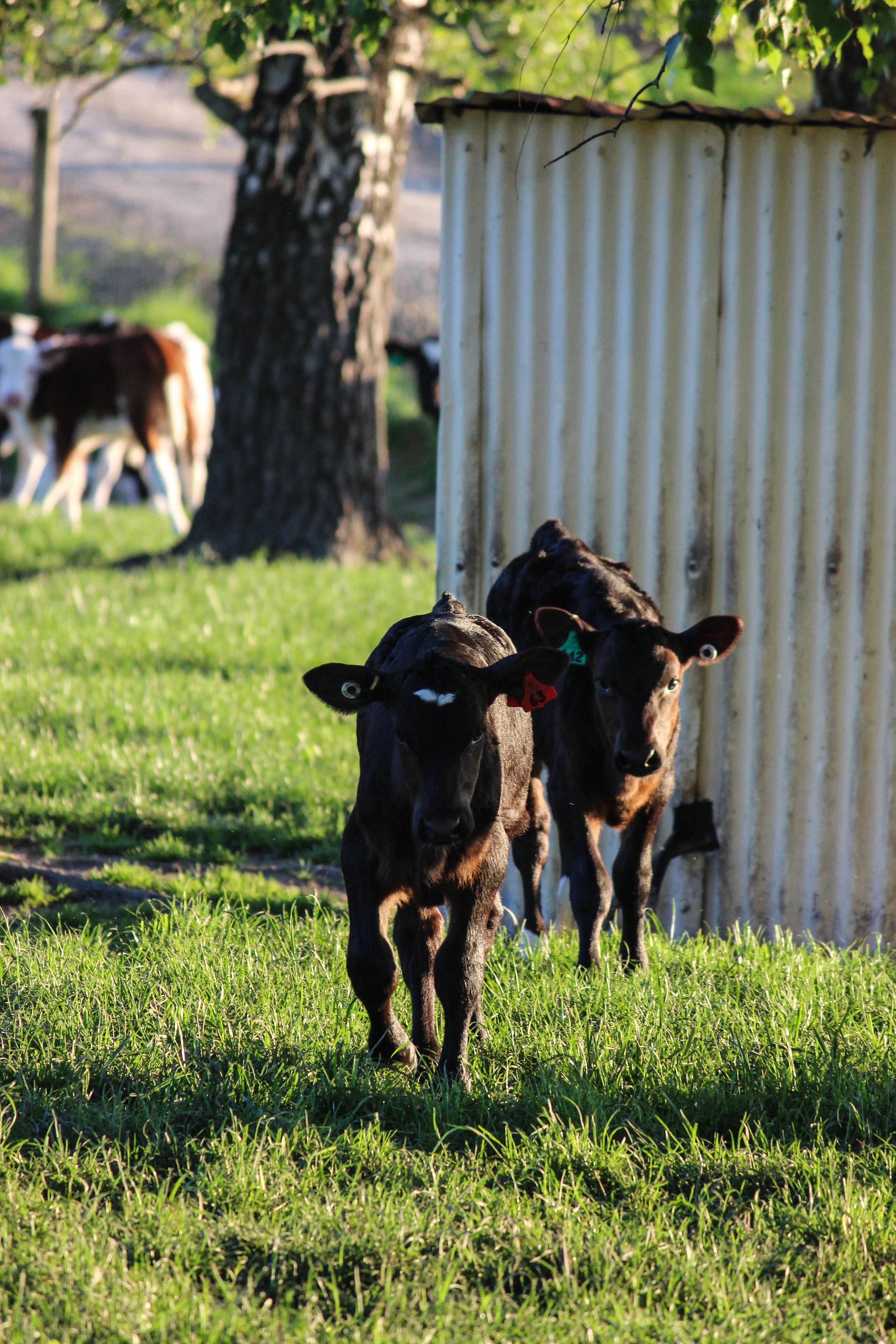 calves-21.jpg