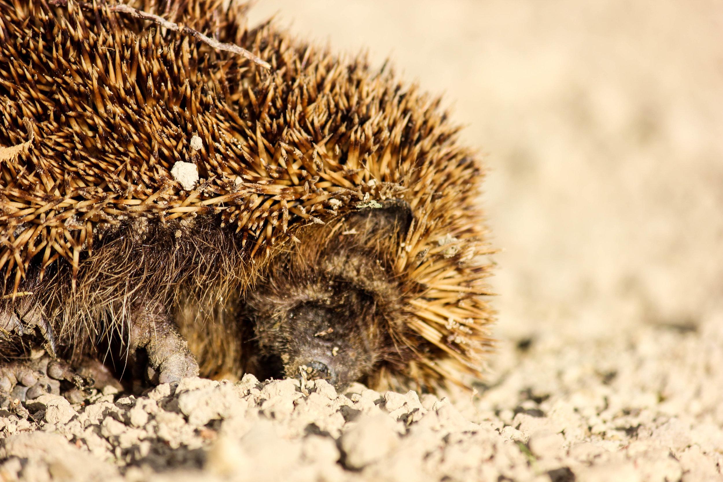 hedgehog-2.jpg