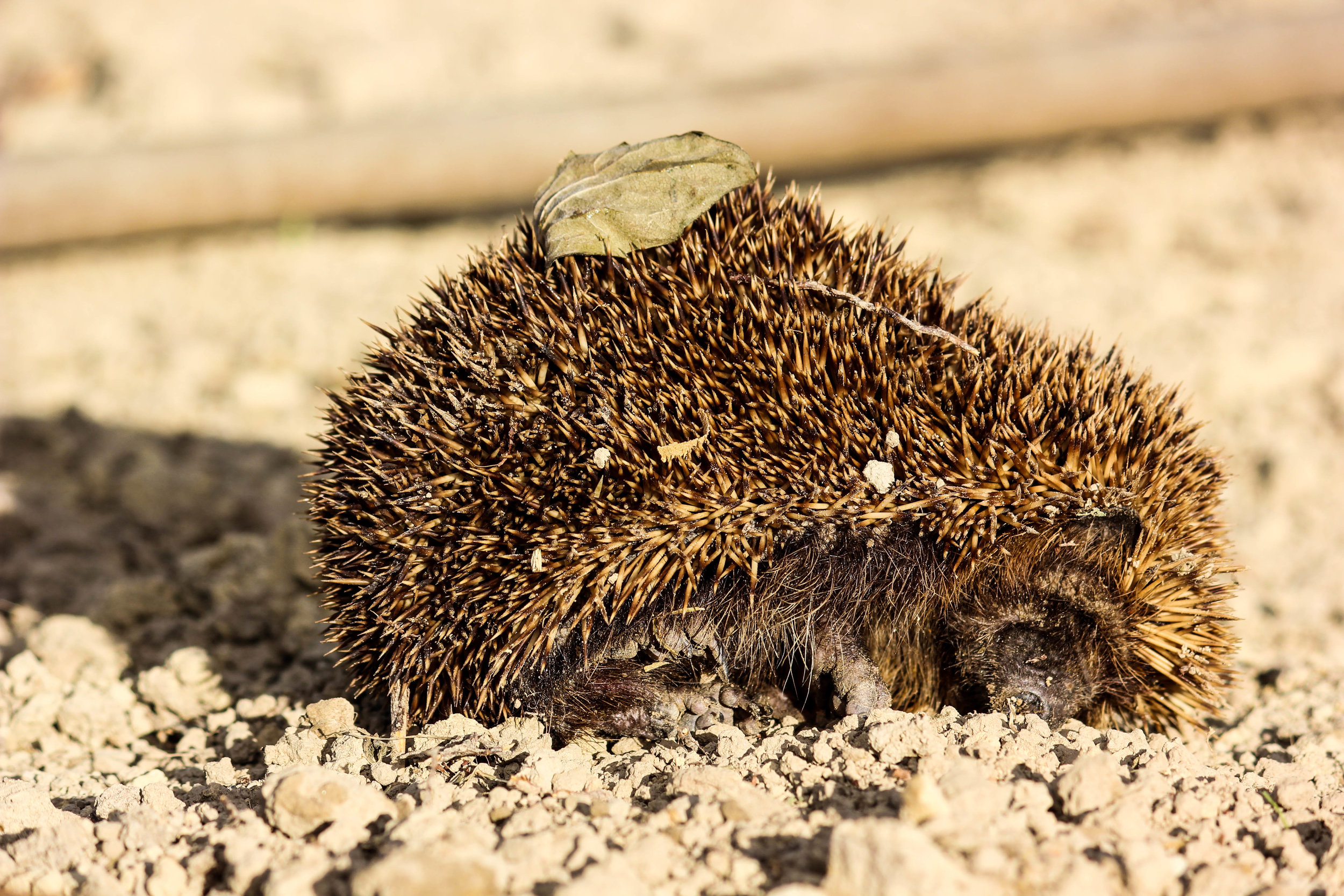 hedgehog-3.jpg