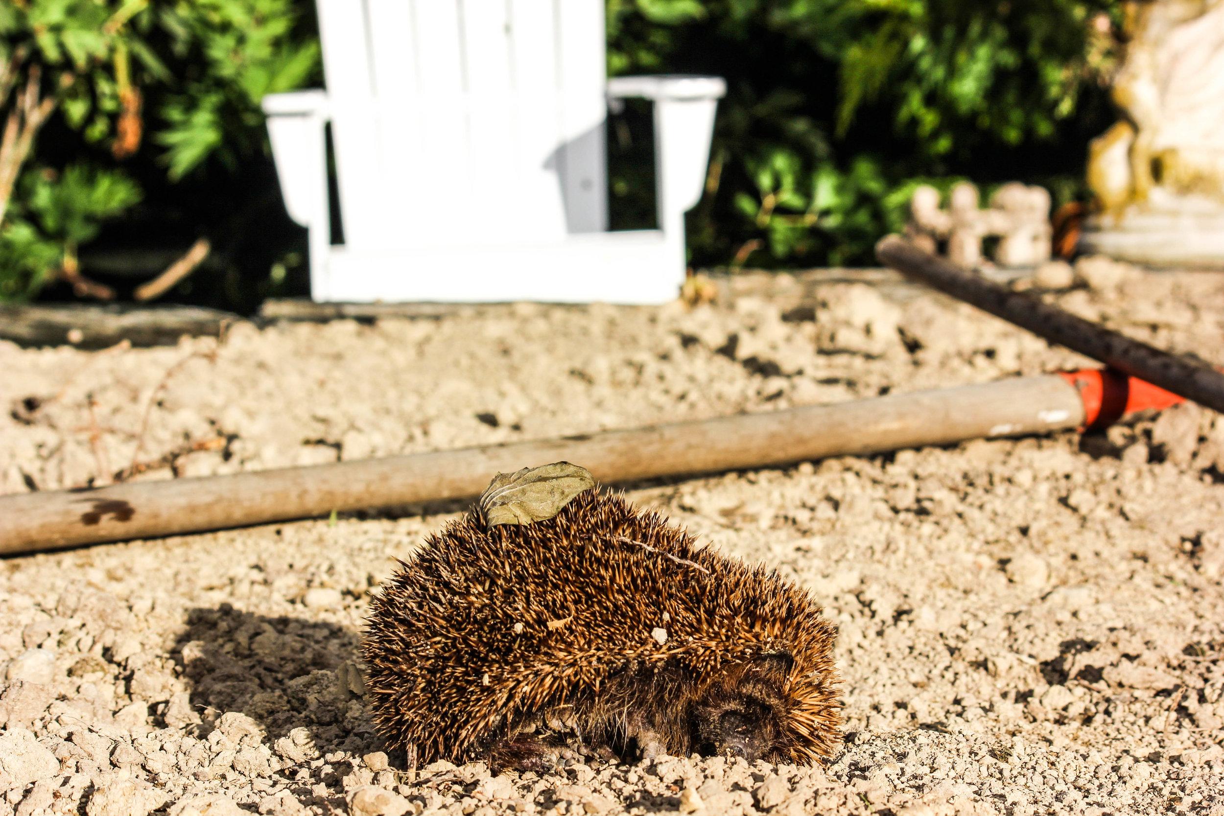 hedgehog-4.jpg