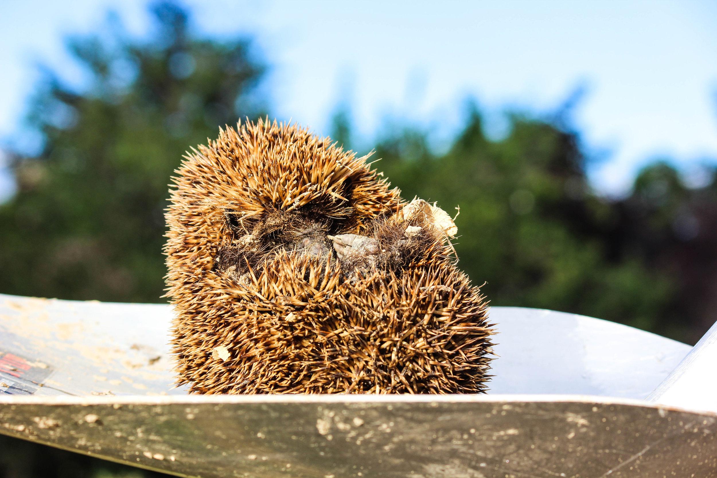 hedgehog-8.jpg