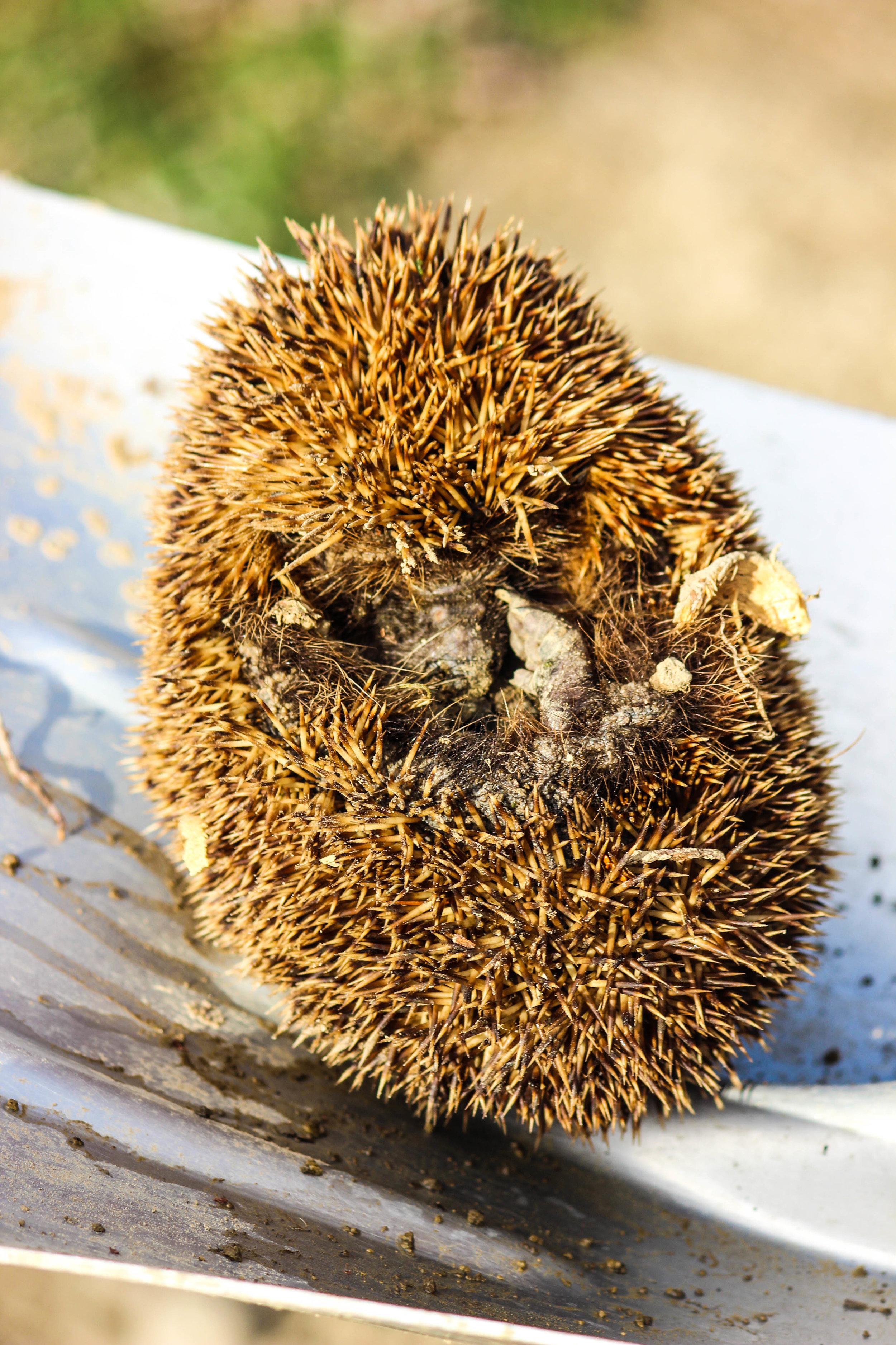 hedgehog-9.jpg