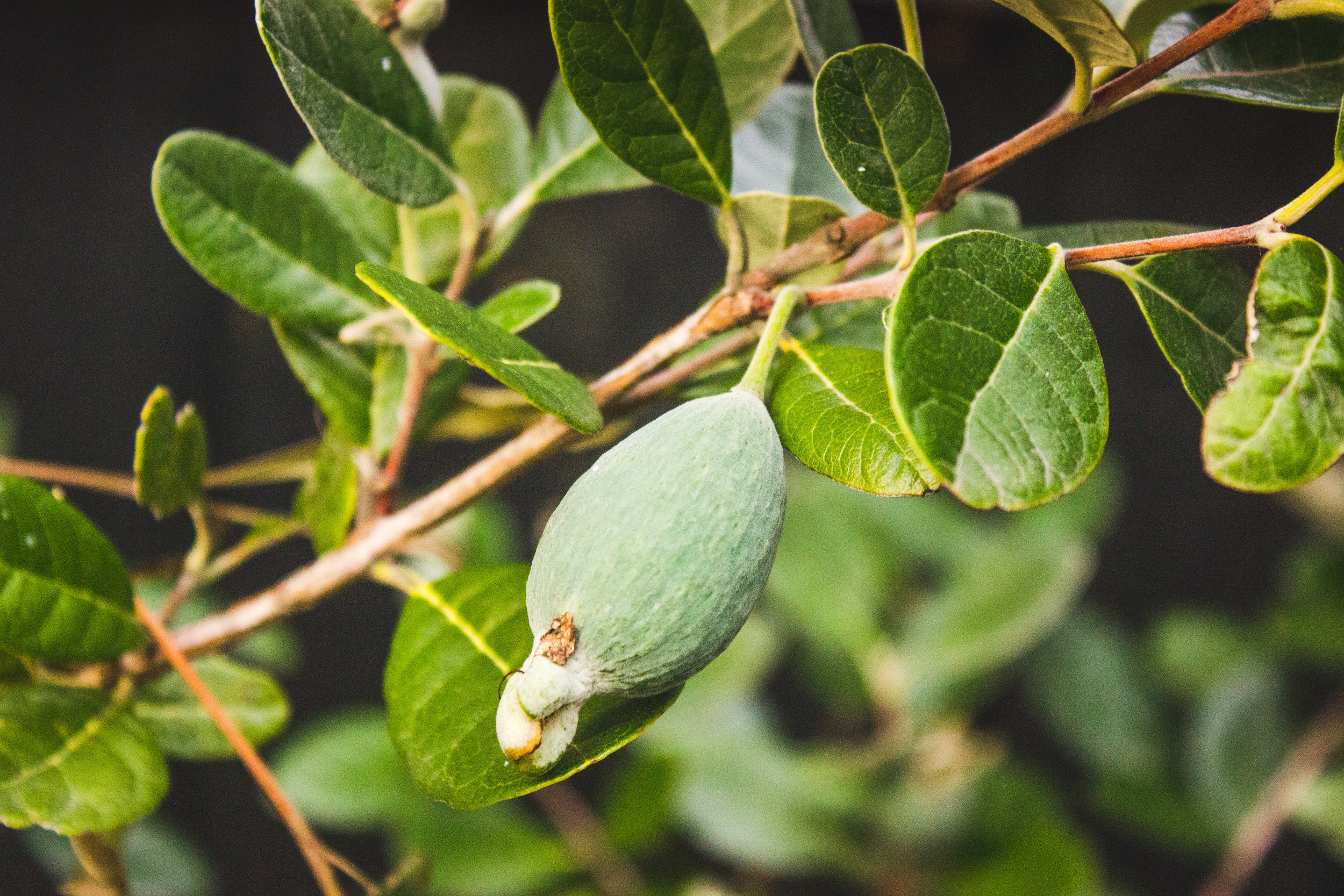 feijoas-tree-3.jpg