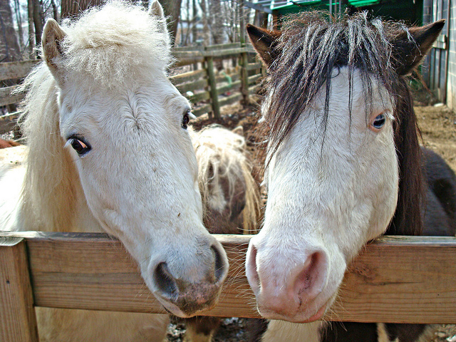 An image of two white horses side by side, leaning over wooden fence/gate.
