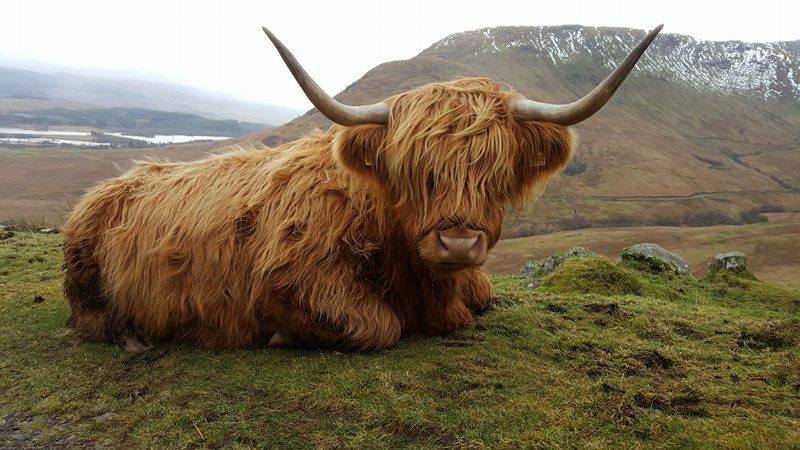 Very friendly cow guarding the path to the Munros Beinn a'Chochuill and Beinn Eunaich. Photo by Bianca Sala (IG: @themonsterrific)