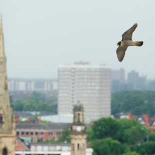 Image of Peregrine Falcon from the RSPB