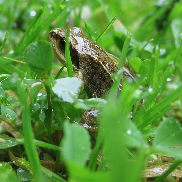 Common Frog Image from Froglife