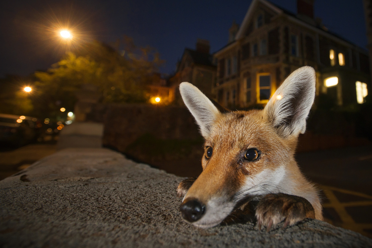 Urban Red Fox image by Sam Hobson