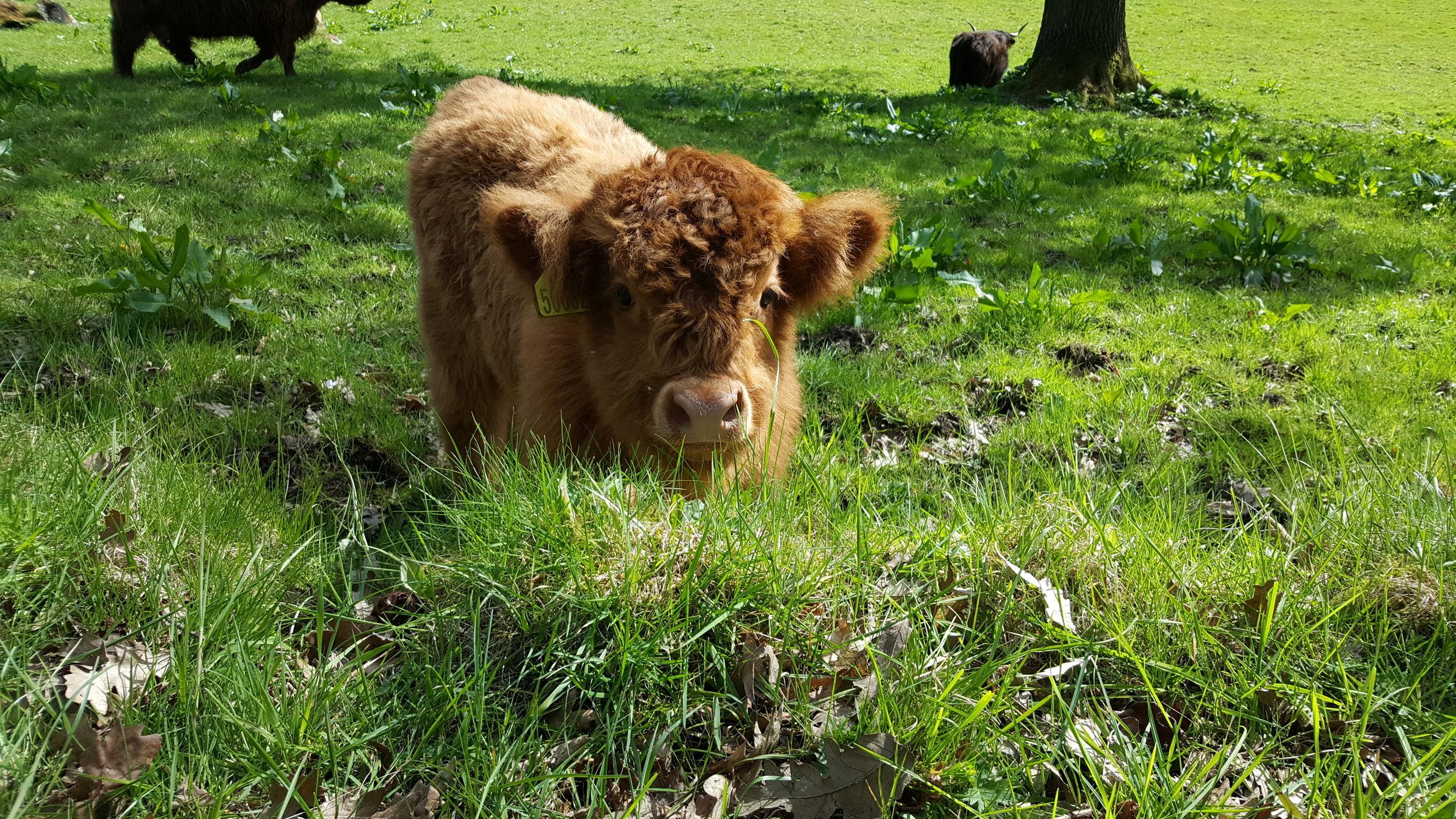 Adorable baby cow in Pollok park (photo Bianca Sala)
