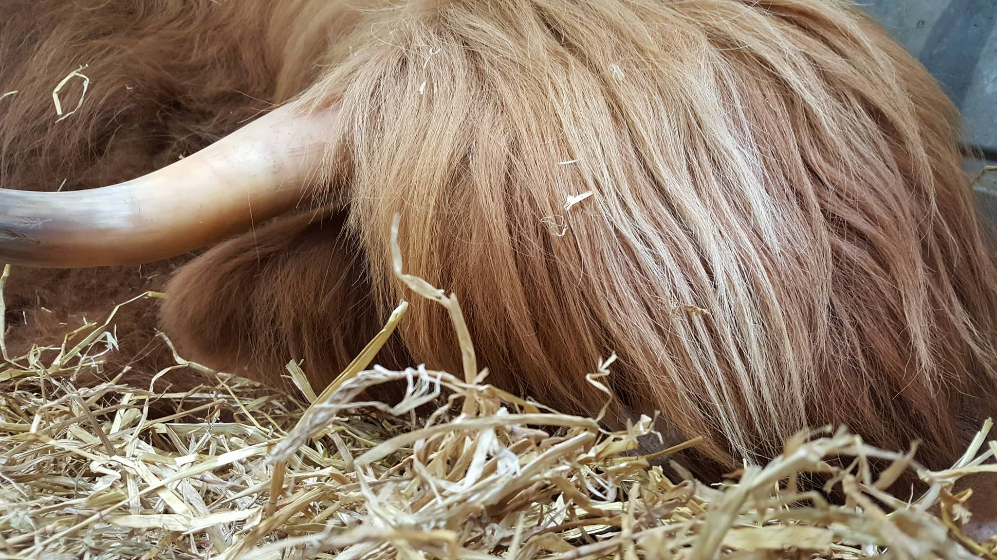 Sleepy coo at the Royal Highland Show in 2017 (photo Bianca Sala)