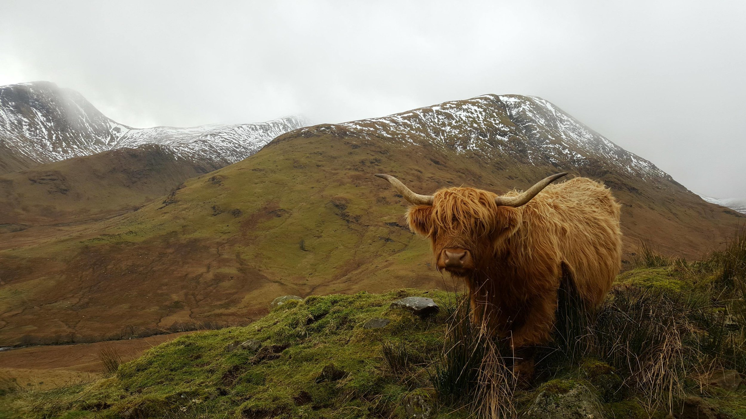 Hairy coo enjoying the view in the Highlands on her relaxing hillwalk. (photo Bianca Sala)