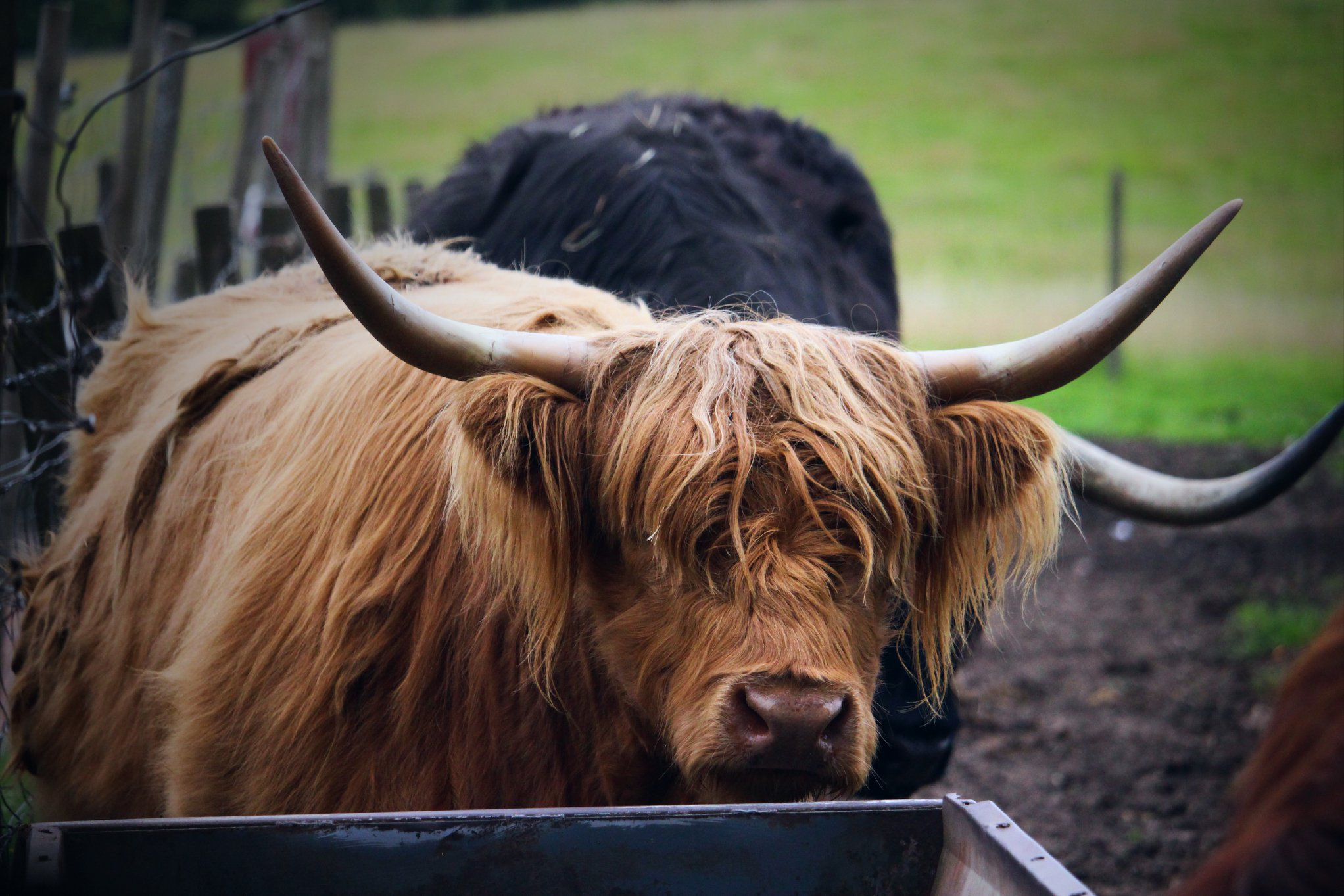 My first meeting with one of the famous coos in the Loch Lomond and Trossachs National Park.
