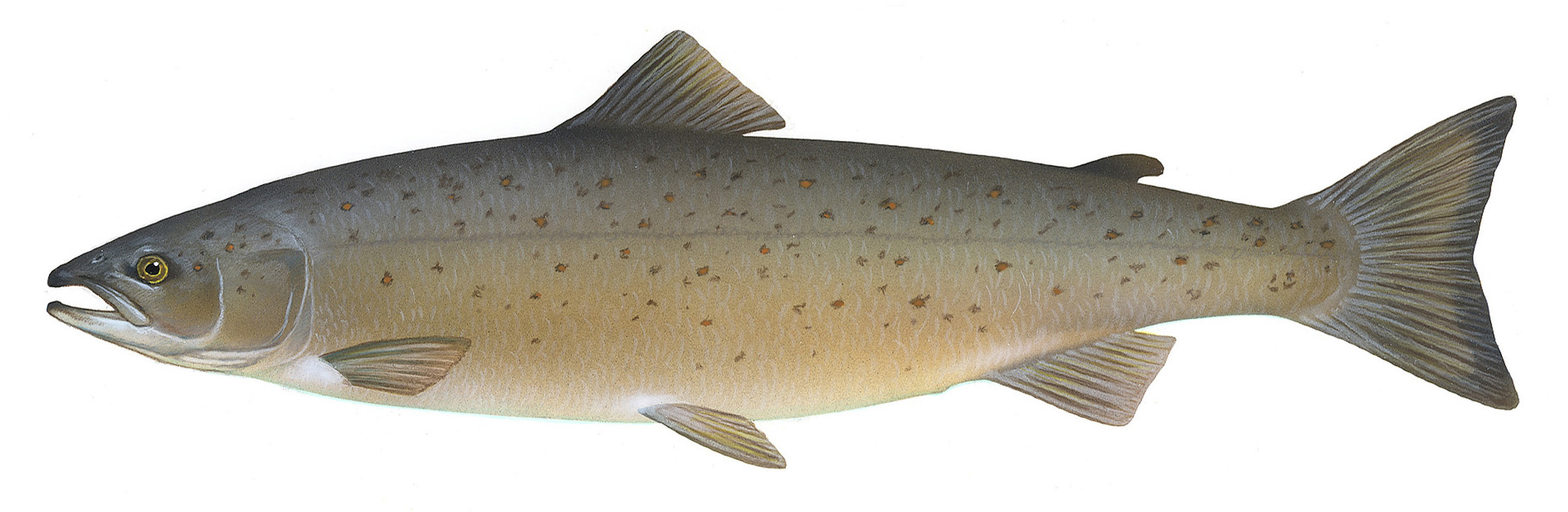 An Atlantic Salmon, the hero neuroscience needs. Picture taken from    Wikipedia   .