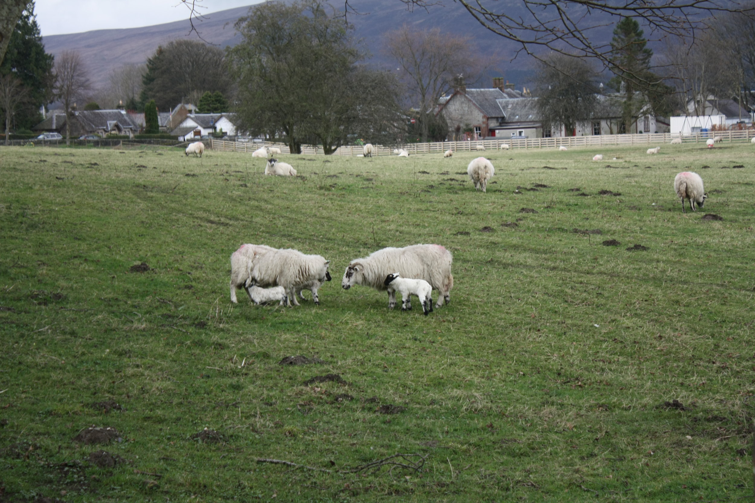 Going to see the lambs in early Spring is a sort of therapy for me