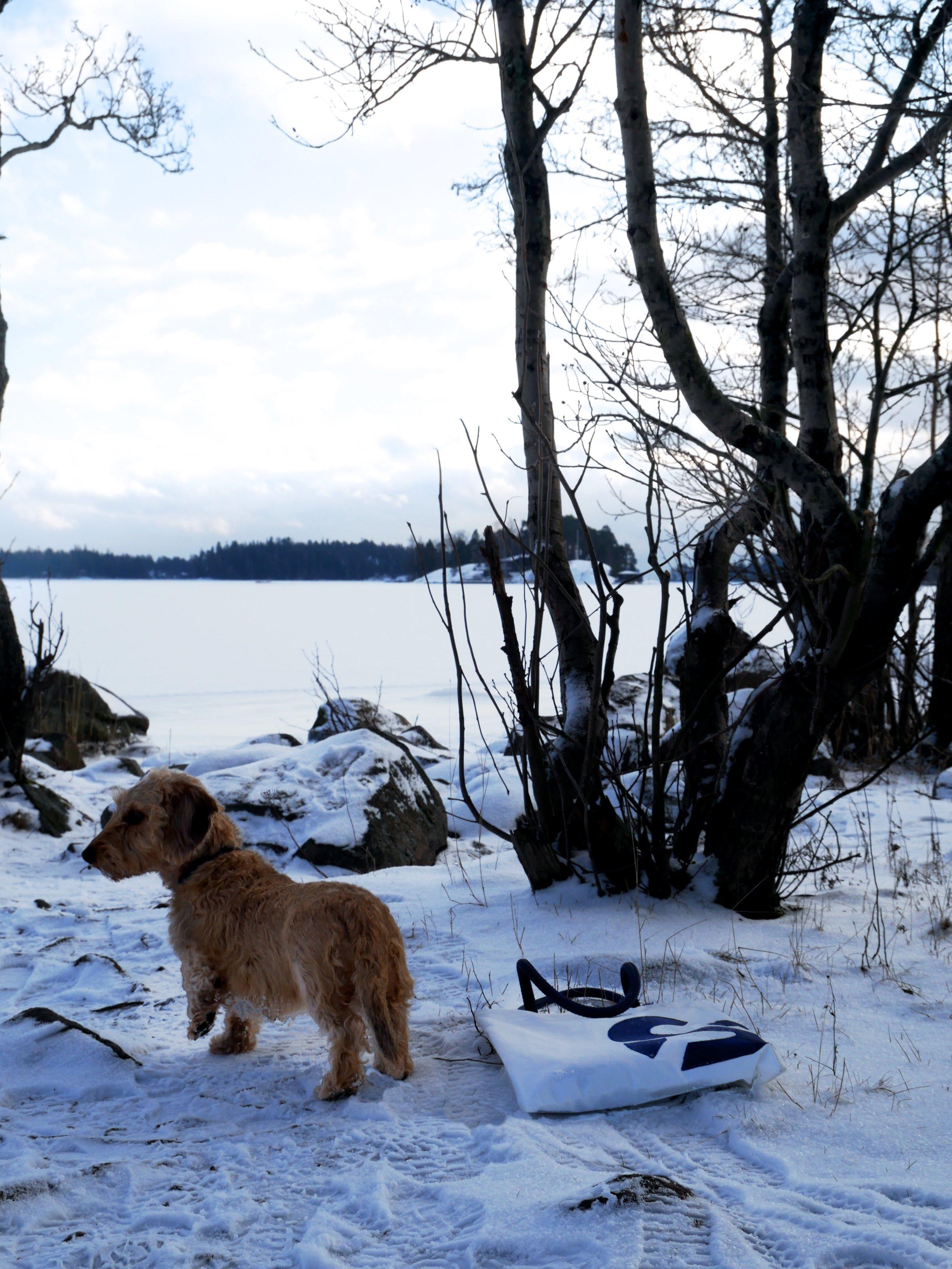 Kamera, koira ja Sköne - Suomen talvi ei näytä sinistä taivasta monena päivänä, joten jokaisesta aurinkoisesta hetkestä on otettava kaikki irti, ei kun koira mukaan ja rantaan!- Edvin,31.1.2018