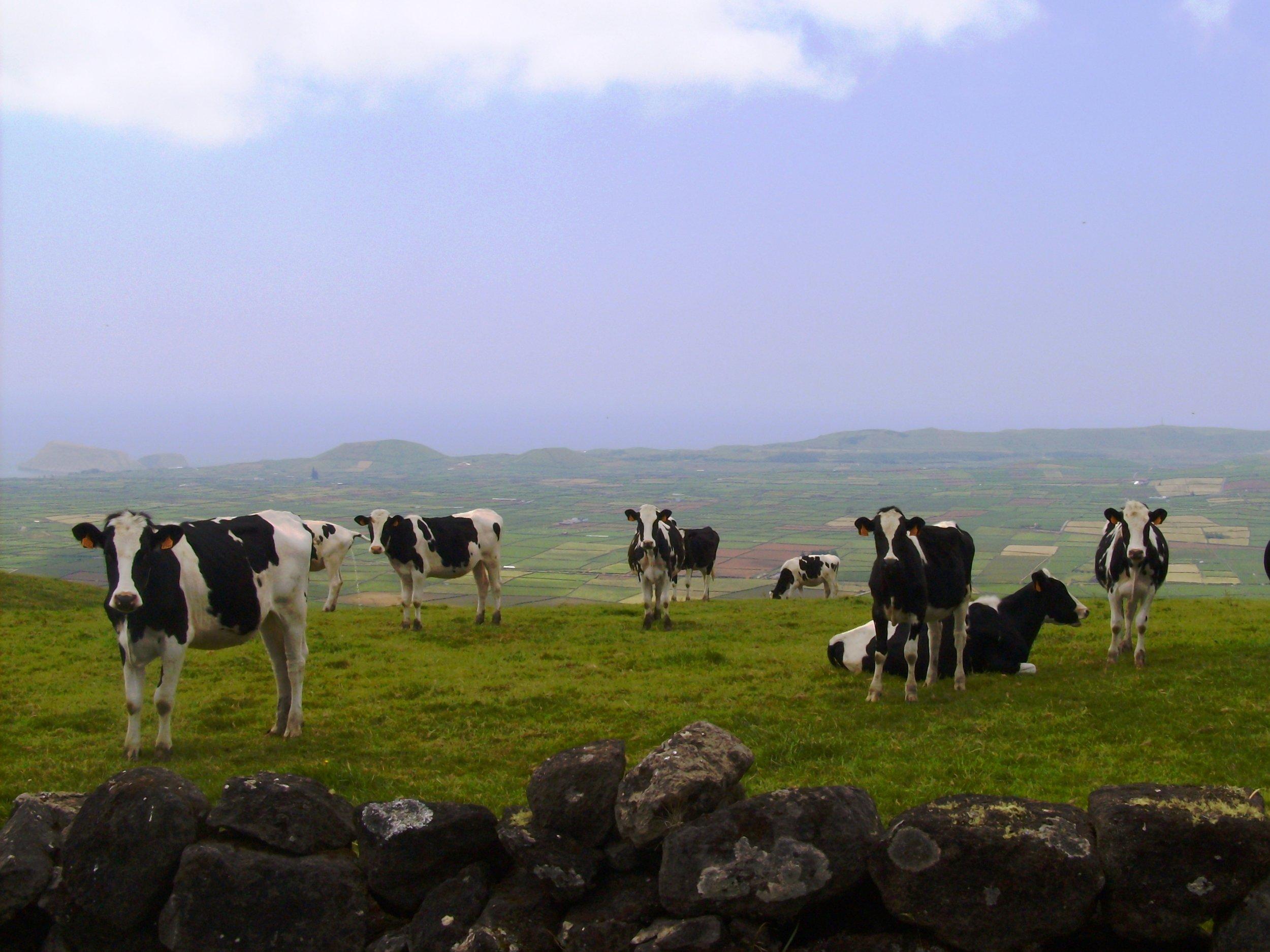 Vacas no Pasto - Serra do Cume