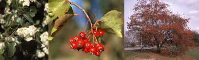 Hawthorn is a foragers mainstay as young leaves, flowering tops and berries can all be harvested.