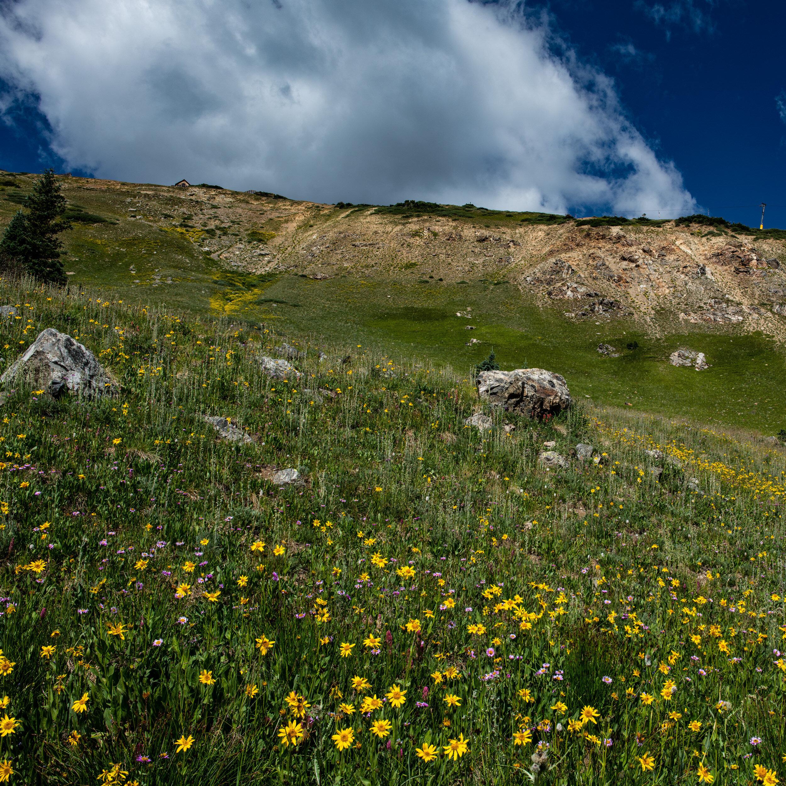 Sunflower Field Breck.jpg