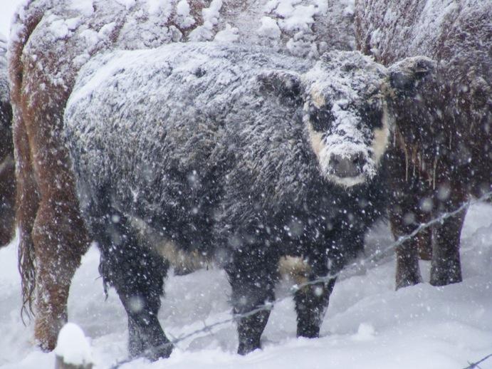 vache, neige