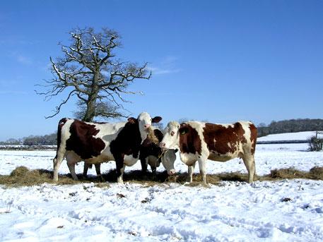 cows, snowing
