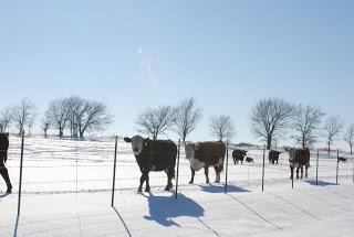 cow, snow