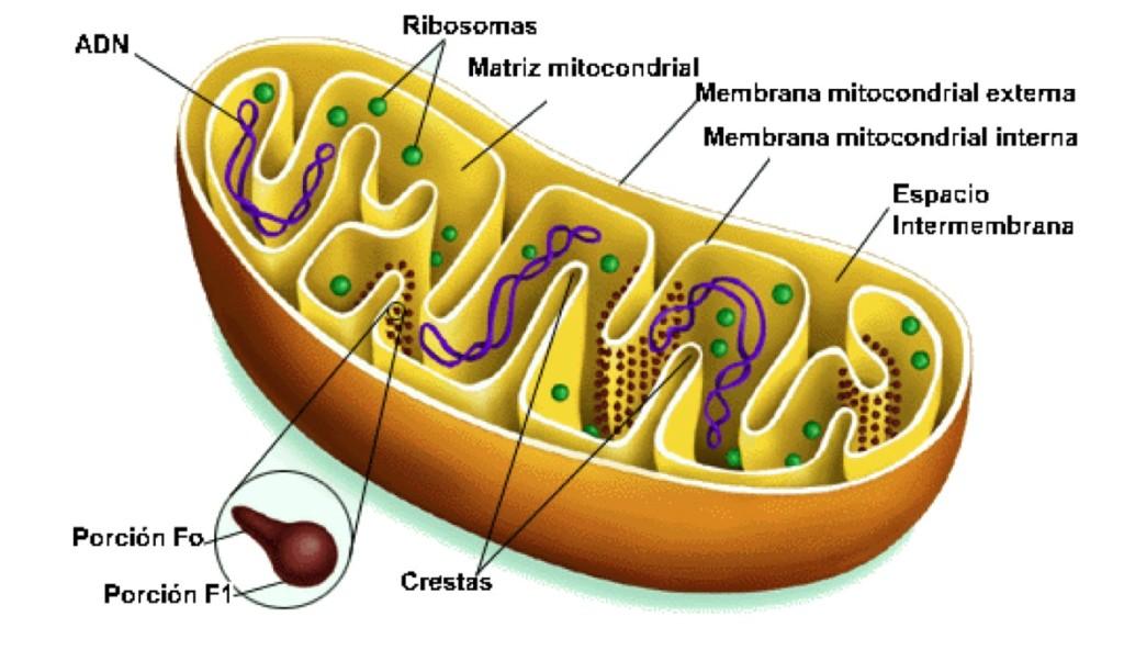 mitochondria-diagram-cell-4.jpg
