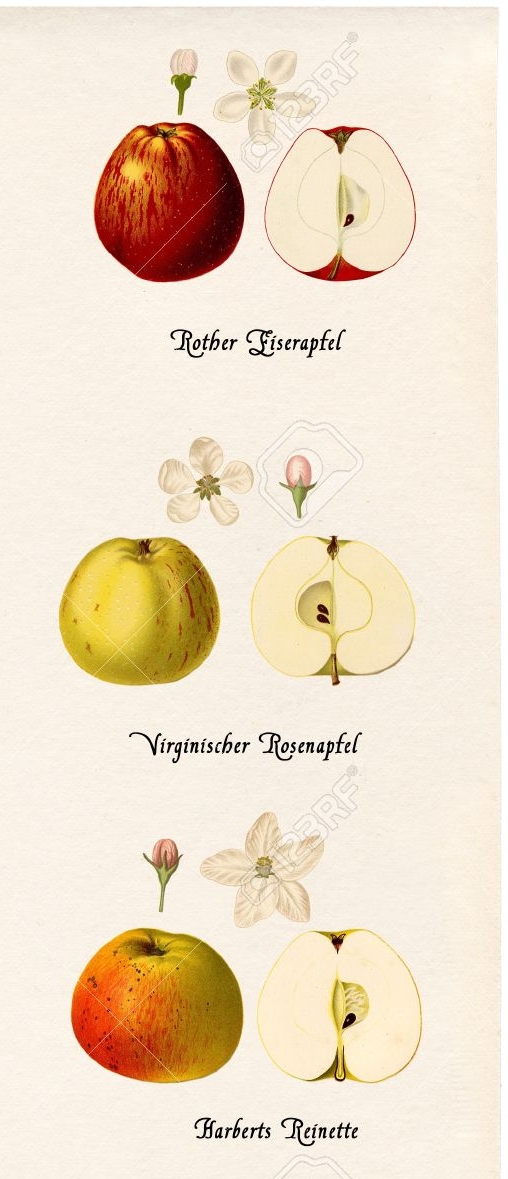 14415800-Collage-with-illustrations-of-apple-varieties-in-historic-style-on-old-paper-Stock-Illustration.jpg