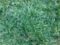 Proper watering helps a newly seeded lawn become fully established quickly. Sodded lawns also require frequent watering. Follow these fundamentals to help ensure success.