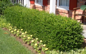 Boxwood hedge along a front porch
