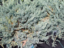 Blue Chip Juniper - Juniperus horizontalis 'Blue Chip'Silver-blue foliage all year, Prefers full sun, Growth to 12