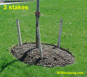Stakes are usually cut shorter with guy wires running up to the first set of branches.