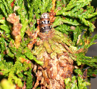 BAGWORMS  By late summer, this Arborvitae was showing widespread bagworm damage. Controls: Bt (Bacillus thuringiensis) or an approved insecticide in June, or hand pick the bags in late Fall to destroy overwintering eggs. These caterpillars create silk bags camouflaged with foliage from the host plant.