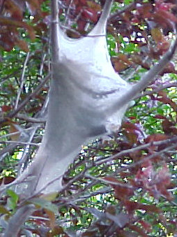 "EASTERN TENT CATERPILLAR  Eastern Tent Caterpillars show-up quickly in the spring and are easily identified by their webs being located in the ""crotch"" of a branch. In stark contrast, Fall Webworm tents are formed at branch tips."